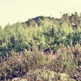 Ανθίζοντας ερείκη στη φύση του τσεχικού εδάφους Macha ` s περιοχής τουριστών στις καλοκαιρινές διακοπές Στοκ φωτογραφία με δικαίωμα ελεύθερης χρήσης
