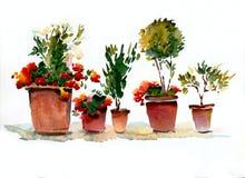 Ανθίζοντας εσωτερικά λουλούδια κόκκινα και άσπρα στα δοχεία σε ένα άσπρο backgro ελεύθερη απεικόνιση δικαιώματος