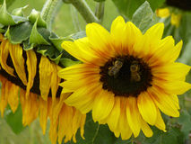 Ανθίζοντας ηλίανθος και δύο μέλισσες Στοκ Φωτογραφία