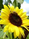 Ανθίζοντας ηλίανθος και μέλισσα στον κήπο Στοκ Εικόνες