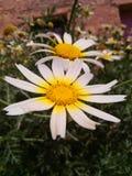 ανθίζοντας ηλίανθος σπόρων λουλουδιών ανασκόπησης Στοκ φωτογραφίες με δικαίωμα ελεύθερης χρήσης