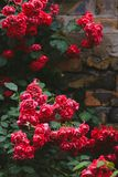Ανθίζοντας θάμνοι των κόκκινων τριαντάφυλλων κήπων στο τουβλότοιχο στοκ φωτογραφία