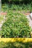 Ανθίζοντας θάμνοι φραουλών στοκ εικόνες