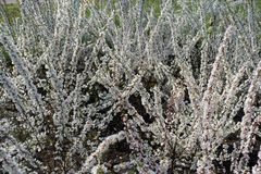 Ανθίζοντας θάμνοι tomentosa Prunus την άνοιξη στοκ φωτογραφία με δικαίωμα ελεύθερης χρήσης