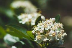 Ανθίζοντας θάμνος Aronia Chokeberry στον κήπο Στοκ εικόνα με δικαίωμα ελεύθερης χρήσης