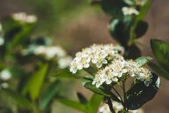 Ανθίζοντας θάμνος Aronia Chokeberry στον κήπο Στοκ εικόνες με δικαίωμα ελεύθερης χρήσης