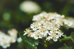 Ανθίζοντας θάμνος Aronia Chokeberry στον κήπο Στοκ φωτογραφίες με δικαίωμα ελεύθερης χρήσης