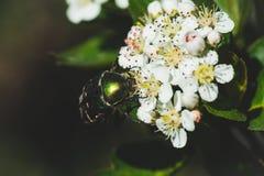 Ανθίζοντας θάμνος Aronia Chokeberry στον κήπο Στοκ Φωτογραφία