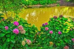 Ανθίζοντας θάμνος hortensia με τα όμορφα ρόδινα λουλούδια, που αυξάνονται σε μια ακτή λιμνών Στοκ Φωτογραφίες
