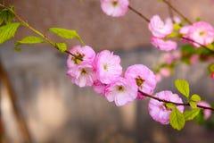 Ανθίζοντας ιαπωνικό δαμάσκηνο Στοκ Φωτογραφία