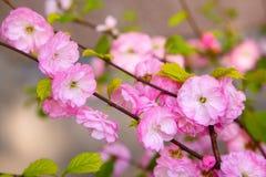 Ανθίζοντας ιαπωνικό δαμάσκηνο Στοκ εικόνες με δικαίωμα ελεύθερης χρήσης