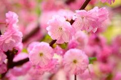 Ανθίζοντας ιαπωνικό δαμάσκηνο Στοκ Εικόνες