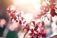 Ανθίζοντας ιαπωνικό δέντρο κερασιών Λουλούδια sakura ανθών Ηλιόλουστο υπόβαθρο φύσης ημέρας και άνοιξη 2 όλα τα αυγά Πάσχας έννοι Στοκ Εικόνα