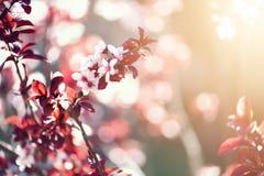 Ανθίζοντας ιαπωνικό δέντρο κερασιών Λουλούδια sakura ανθών Ηλιόλουστο υπόβαθρο φύσης ημέρας και άνοιξη 2 όλα τα αυγά Πάσχας έννοι Στοκ εικόνα με δικαίωμα ελεύθερης χρήσης