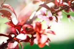 Ανθίζοντας ιαπωνικό δέντρο κερασιών Λουλούδια sakura ανθών Ηλιόλουστο υπόβαθρο φύσης ημέρας και άνοιξη 2 όλα τα αυγά Πάσχας έννοι Στοκ Εικόνες