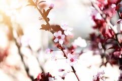 Ανθίζοντας ιαπωνικό δέντρο κερασιών Λουλούδια sakura ανθών Ηλιόλουστο υπόβαθρο φύσης ημέρας και άνοιξη 2 όλα τα αυγά Πάσχας έννοι Στοκ Φωτογραφίες