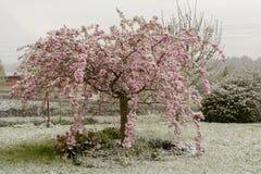 Ανθίζοντας ιαπωνικό κεράσι στο χιόνι Στοκ εικόνες με δικαίωμα ελεύθερης χρήσης