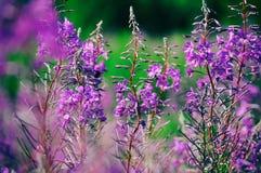Ανθίζοντας λιβάδι ιτιά-χορταριών Chamerion Angustifolium, Fireweed, Rosebay, Willowherb Στοκ Εικόνα