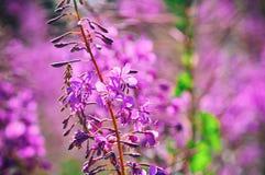 Ανθίζοντας λιβάδι ιτιά-χορταριών Chamerion Angustifolium, Fireweed, Rosebay, Willowherb Στοκ Εικόνες