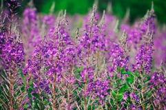 Ανθίζοντας λιβάδι ιτιά-χορταριών Chamerion Angustifolium, Fireweed, Rosebay, Willowherb Στοκ Φωτογραφία