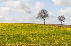 Ανθίζοντας λιβάδι με την κοινή πικραλίδα (Taraxacum) Στοκ Φωτογραφία