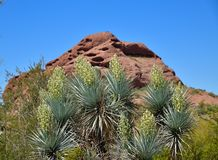 Ανθίζοντας ισπανικό στιλέτο Yucca σε Tempe/το Phoenix στοκ εικόνες