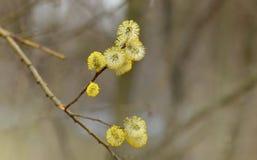 ανθίζοντας ιτιά άνοιξη λουλουδιών κίτρινη Στοκ φωτογραφία με δικαίωμα ελεύθερης χρήσης