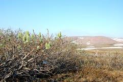 Ανθίζοντας ιτιά tundra (βόρεια Σιβηρία) Στοκ φωτογραφία με δικαίωμα ελεύθερης χρήσης
