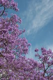 ανθίζοντας ιώδες δέντρο &lambda Στοκ Εικόνα
