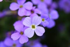 Ανθίζοντας ιώδες μπλε λουλούδι Μπλε υπόβαθρο λουλουδιών Εκλεκτική εστίαση Στοκ εικόνα με δικαίωμα ελεύθερης χρήσης