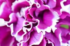 Ανθίζοντας ιώδες μπλε λουλούδι Μπλε υπόβαθρο λουλουδιών Εκλεκτική εστίαση Στοκ Φωτογραφία