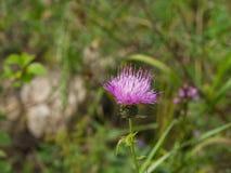 Ανθίζοντας κάρδος ή λουλούδι Cirsium με την κινηματογράφηση σε πρώτο πλάνο υποβάθρου bokeh, εκλεκτική εστίαση, ρηχό DOF Στοκ εικόνες με δικαίωμα ελεύθερης χρήσης