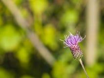 Ανθίζοντας κάρδος, Cirsium arvense, λουλούδι με τη μακρο, εκλεκτική εστίαση υποβάθρου bokeh, ρηχό DOF Στοκ φωτογραφίες με δικαίωμα ελεύθερης χρήσης