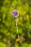 Ανθίζοντας κάρδος, Cirsium arvense, λουλούδι με τη μακρο, εκλεκτική εστίαση υποβάθρου bokeh, ρηχό DOF Στοκ Εικόνες