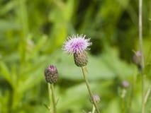 Ανθίζοντας κάρδος, Cirsium arvense, λουλούδι με τη μακρο, εκλεκτική εστίαση υποβάθρου bokeh, ρηχό DOF Στοκ φωτογραφία με δικαίωμα ελεύθερης χρήσης