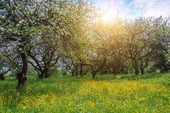 Ανθίζοντας κήπος μήλων, άνοιξη Στοκ εικόνες με δικαίωμα ελεύθερης χρήσης