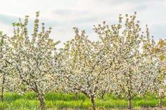 Ανθίζοντας κήπος μήλων στον ήλιο βραδιού Στοκ εικόνες με δικαίωμα ελεύθερης χρήσης
