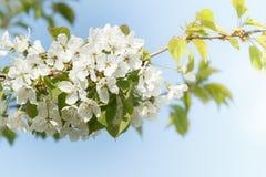 Ανθίζοντας κήπος μήλων την άνοιξη με την πολύ ρηχή εστίαση Στοκ φωτογραφία με δικαίωμα ελεύθερης χρήσης