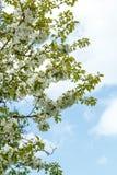 Ανθίζοντας κήπος μήλων την άνοιξη με την πολύ ρηχή εστίαση Στοκ Φωτογραφία