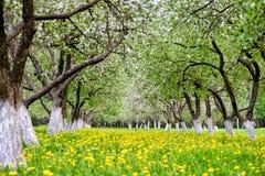 Ανθίζοντας κήπος μήλων Στοκ Εικόνα