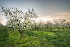 ανθίζοντας κήπος μήλων Στοκ φωτογραφία με δικαίωμα ελεύθερης χρήσης