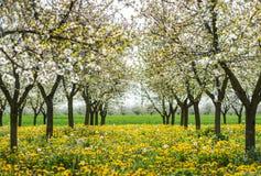 ανθίζοντας κήπος μήλων Στοκ Εικόνες