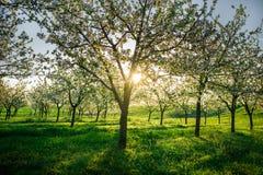ανθίζοντας κήπος μήλων Στοκ εικόνα με δικαίωμα ελεύθερης χρήσης