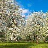 Ανθίζοντας κήπος της Apple στην άνοιξη Στοκ φωτογραφίες με δικαίωμα ελεύθερης χρήσης