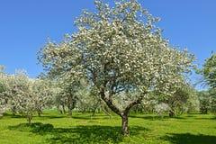 Ανθίζοντας κήπος της Apple στη Μόσχα Στοκ φωτογραφία με δικαίωμα ελεύθερης χρήσης