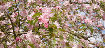 Ανθίζοντας κήπος της Apple την άνοιξη Στοκ φωτογραφία με δικαίωμα ελεύθερης χρήσης