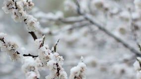 Ανθίζοντας κήπος φρούτων και ασυνήθιστος κρύος καιρός απόθεμα βίντεο