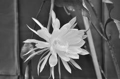 Ανθίζοντας κήρινος νύχτας, Hookers κάκτος ορχιδεών Άσπρο Epiphyllum ή επίσης γΠστοκ φωτογραφία με δικαίωμα ελεύθερης χρήσης