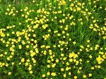 Ανθίζοντας κίτρινα άγρια λουλούδια στον τομέα, Λιθουανία Στοκ φωτογραφία με δικαίωμα ελεύθερης χρήσης