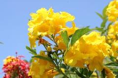 Ανθίζοντας κίτρινα και κόκκινα λουλούδια ενάντια στο μπλε ουρανό Λουλούδια ερήμων Στοκ εικόνες με δικαίωμα ελεύθερης χρήσης